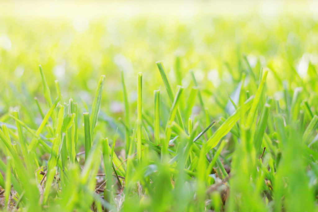 texas allergies grass