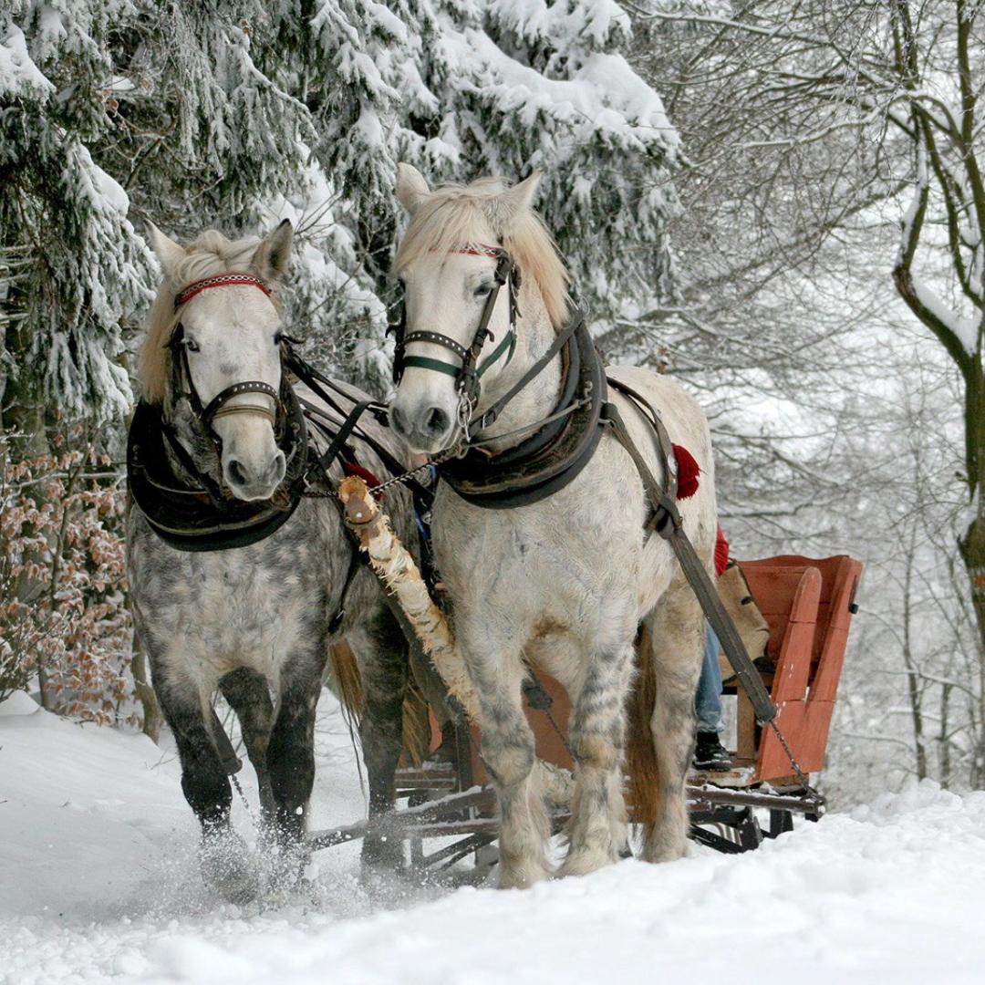 To hester som trekker slede gjennom snødekket landskap