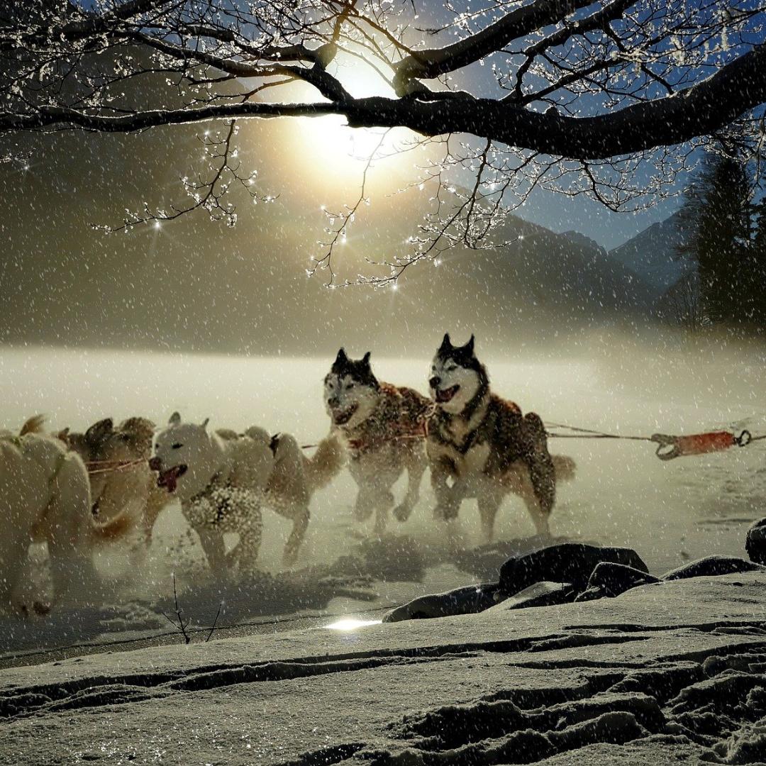 Hundeslede gjennom snødekt landskap