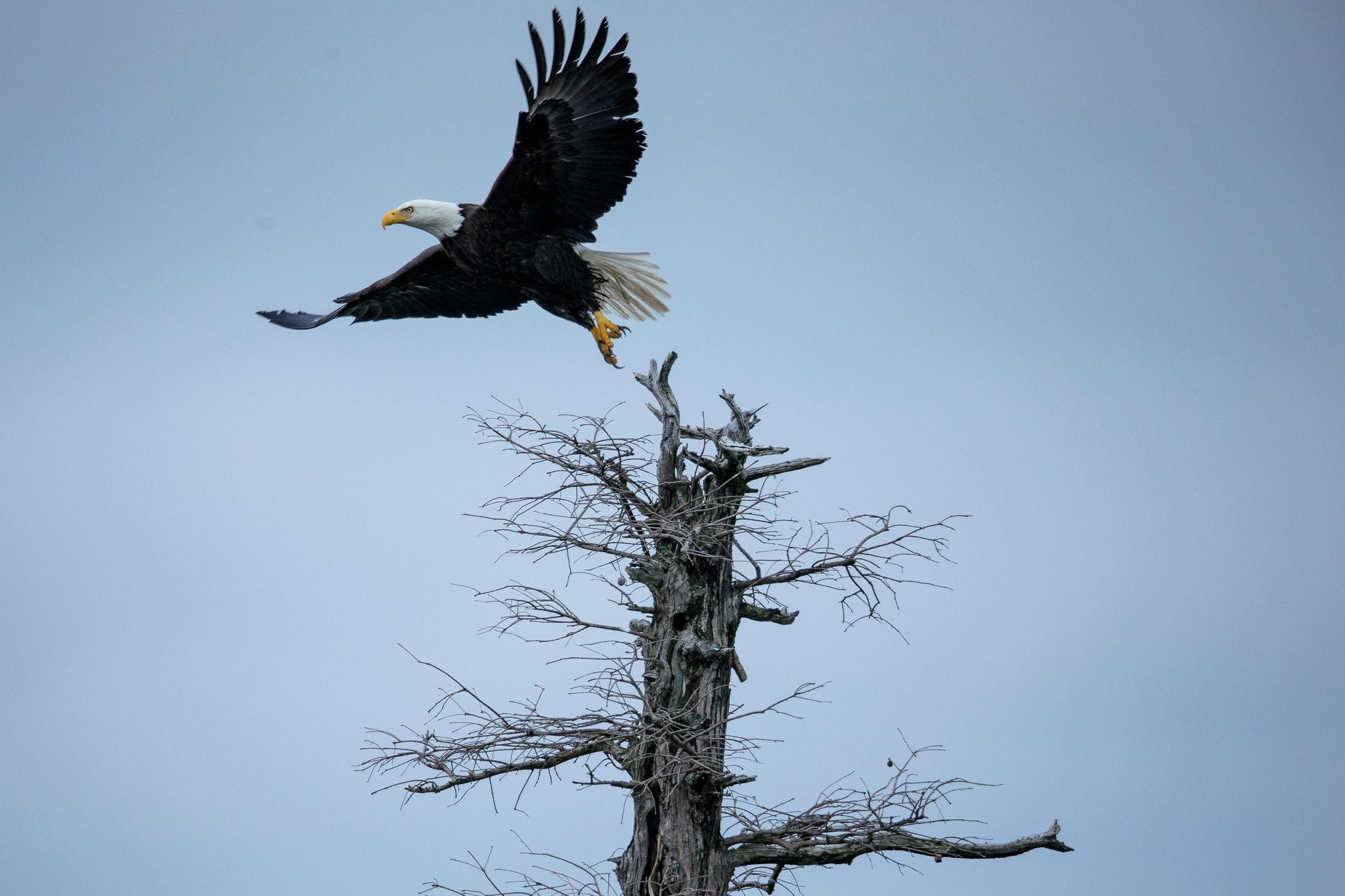 Eagle flying away