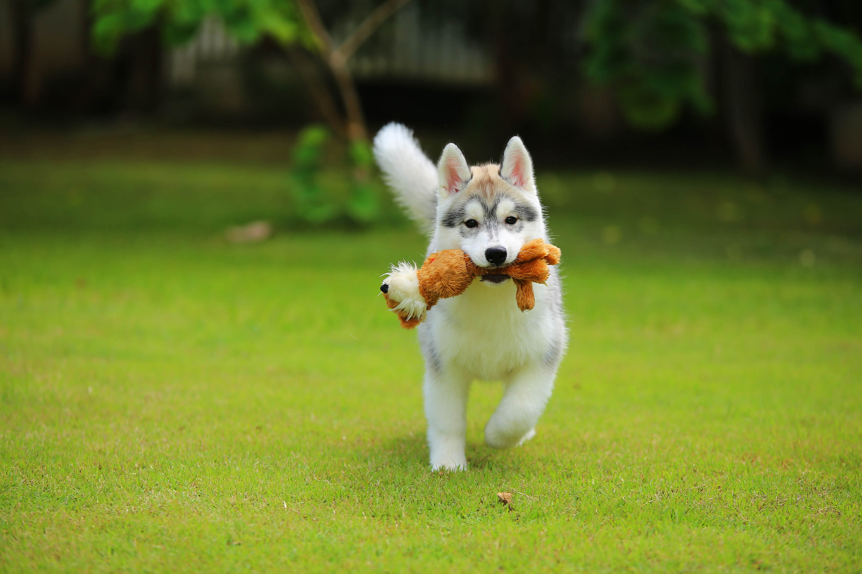 Husky dog running with toy