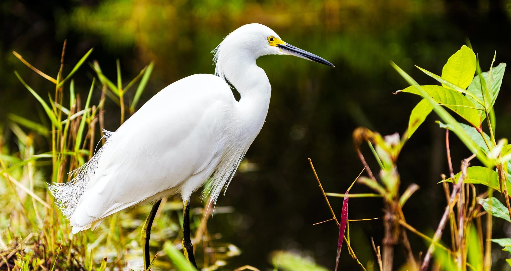 White bird in everglades.