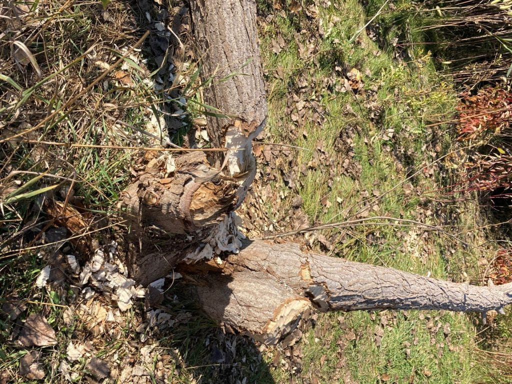 A tree lying on the ground with a large section that has been gnawed by a beaver
