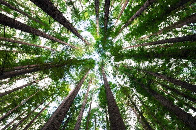 An image looking up through the leaves of tall trees