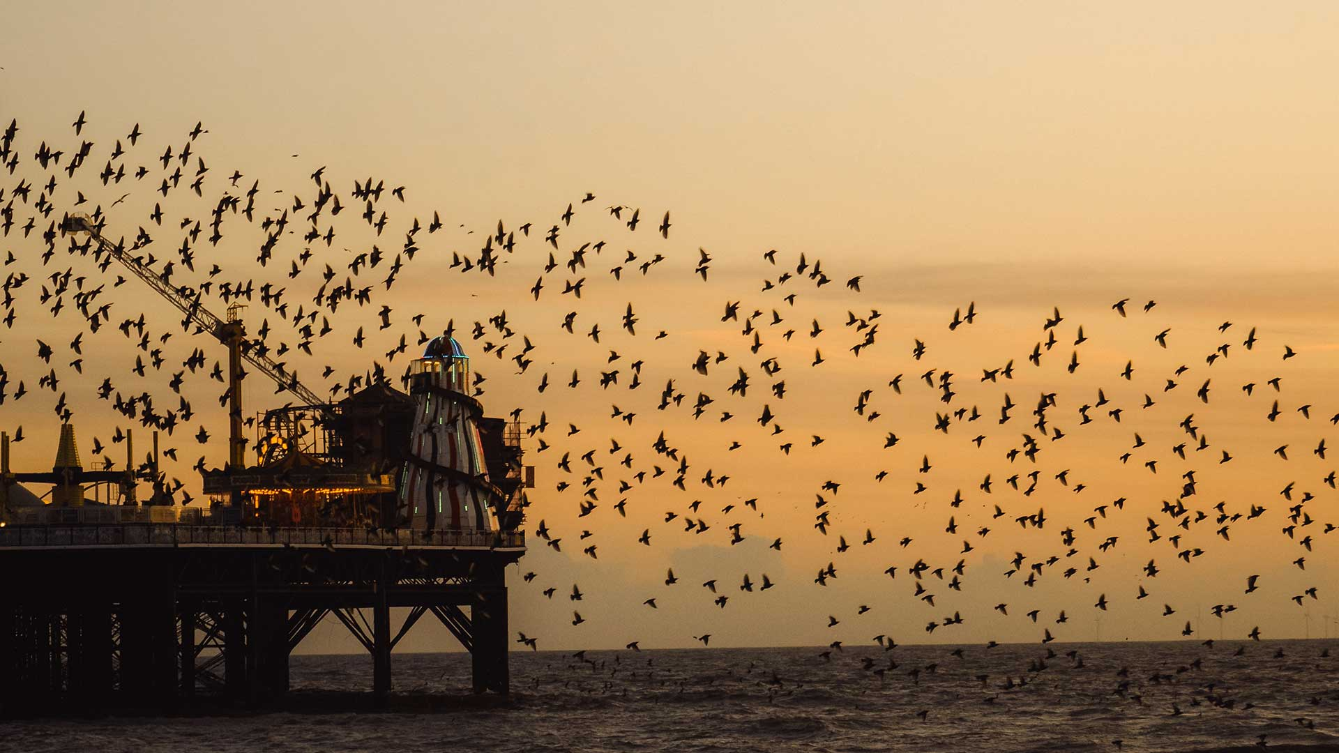 A murmuration of starlings flying over Brighton's Palace Pier