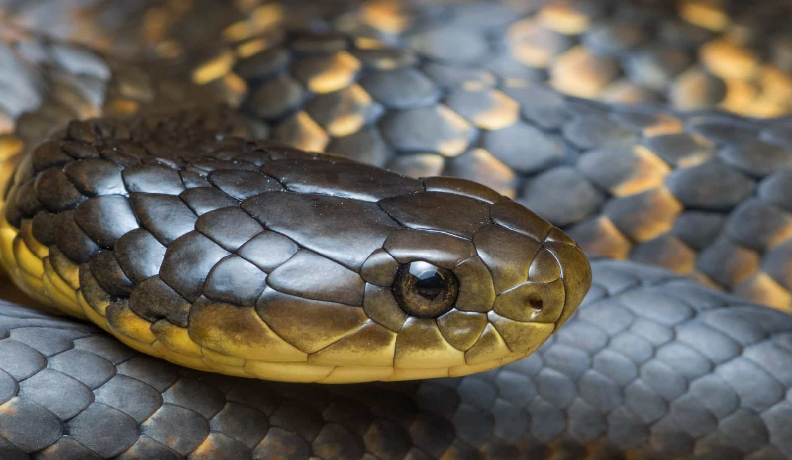 A life-threatening encounter with a tiger snake