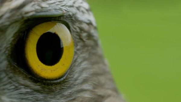 Goshawk eye