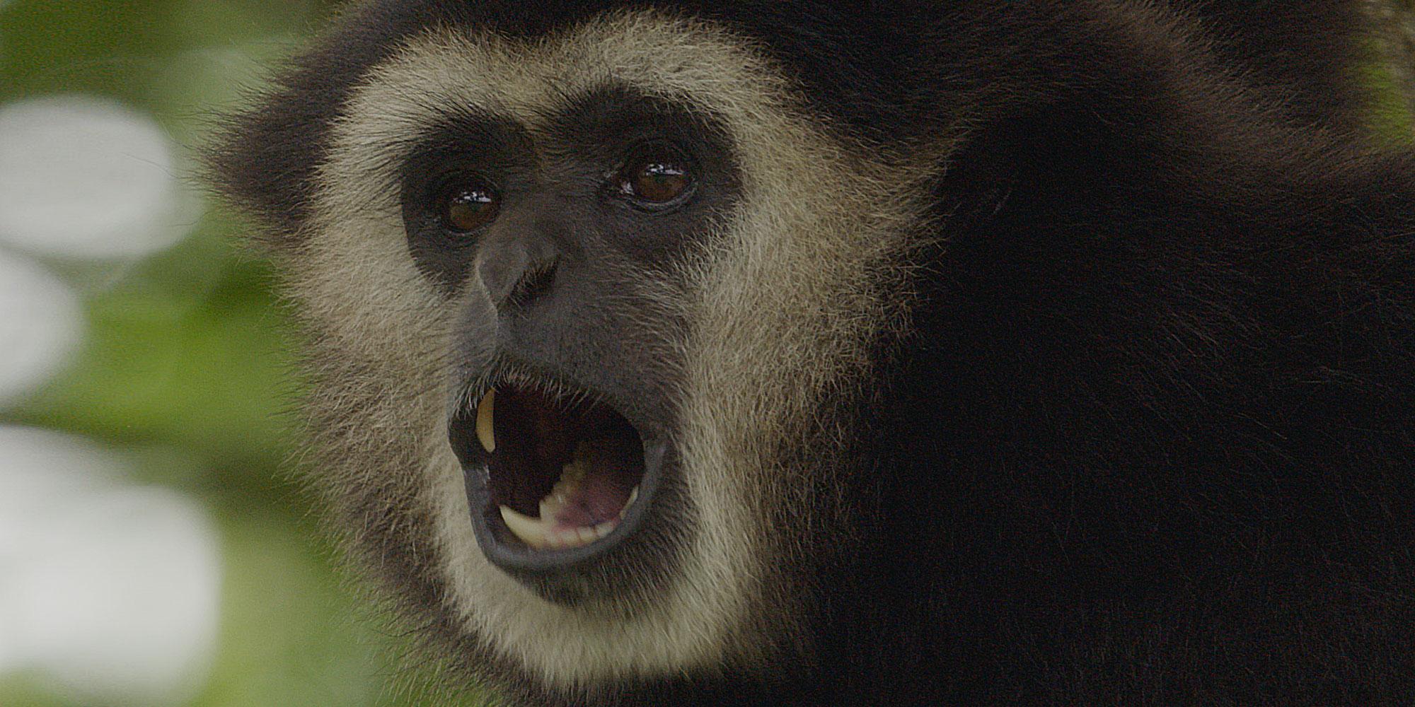 Gibbon calling
