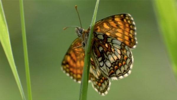 Heath Fritilary Butterfly