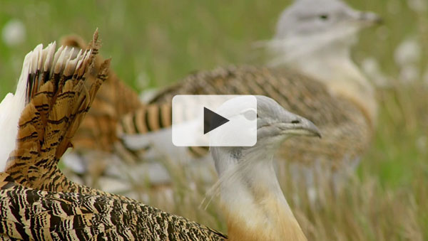 Wild Britain - Great Bustard
