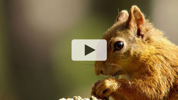 Wild Britain - Squirrels