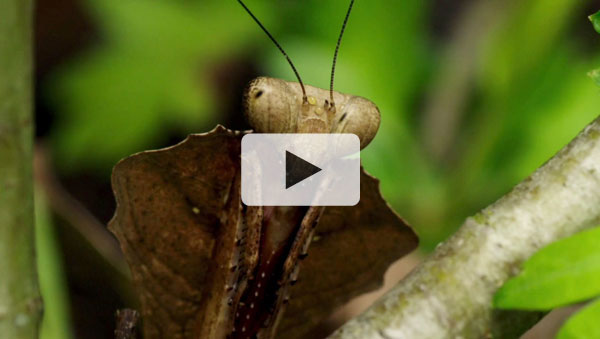 The Secret Life of the Zoo - Dead Leaf Mantis