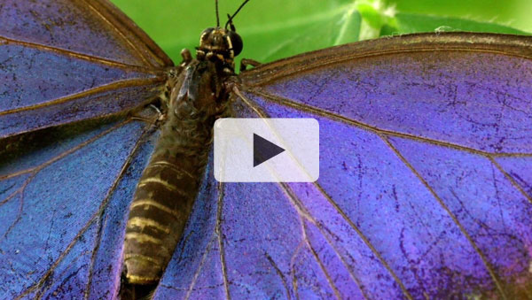 The Secret Life of the Zoo - Blue Morpho Butterflies