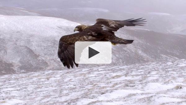 Wild Britain - Eagle