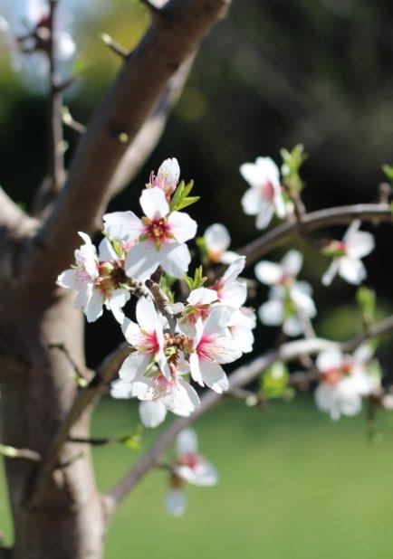 Ein Mandelbaum in der Blüte.