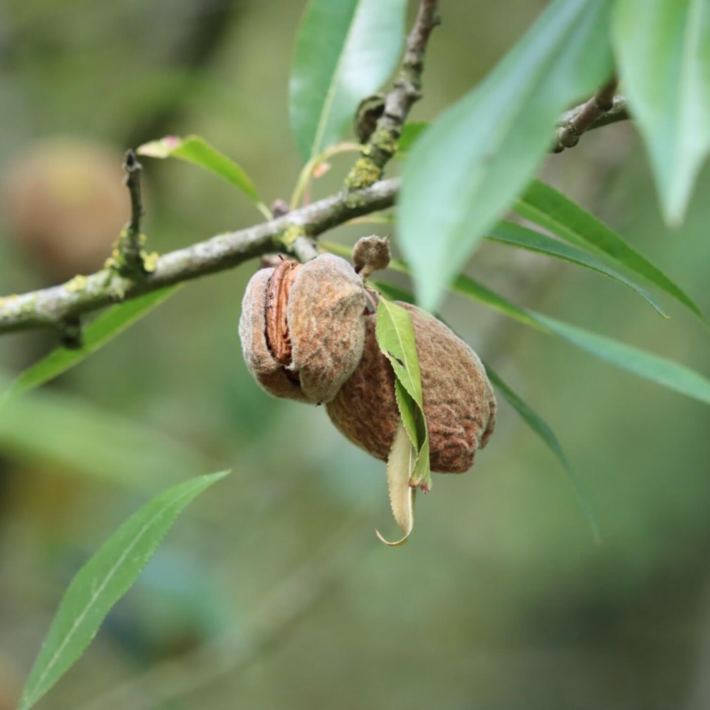 Mandelfrucht am Baum, der Mantel um den Mandelkern platzt auf bei der Mandelernte.