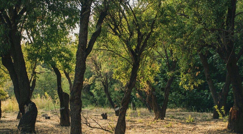Bäume im Mandelhain als Sinnbild für Herkunft und Zukunft bei Felix Himstedt.