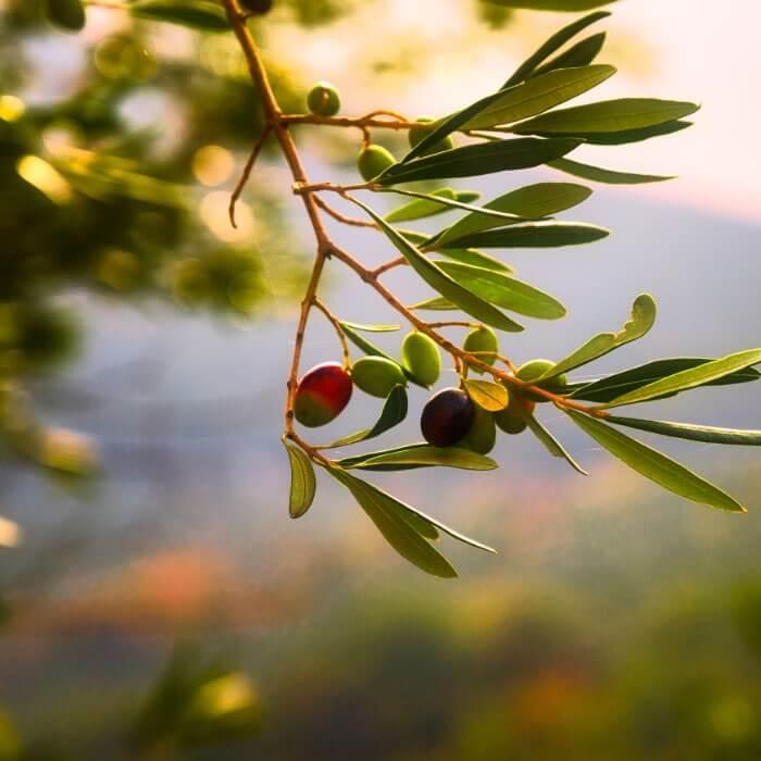 Oliven am Zweig, Olivenernte.