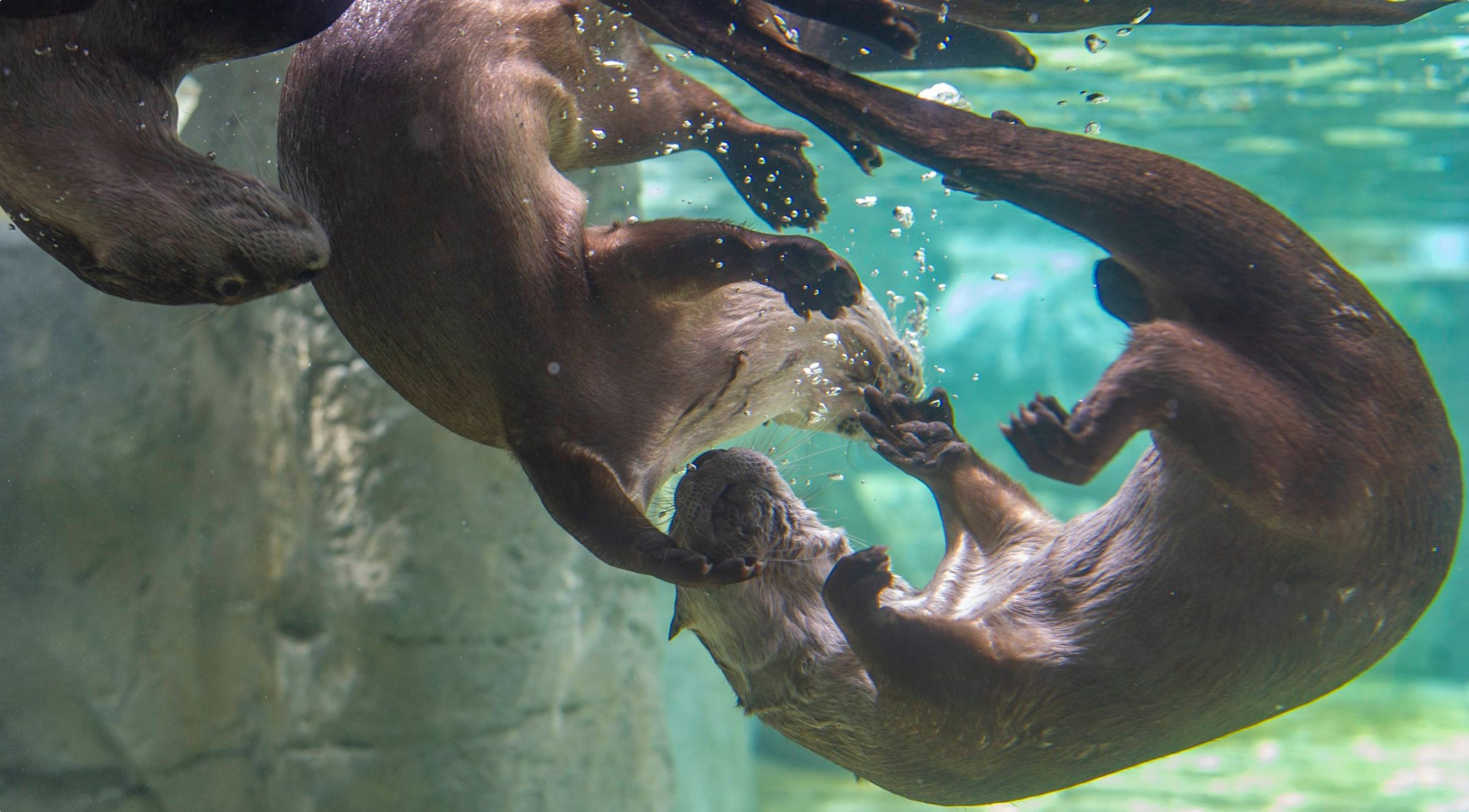 Two otters play underwater.
