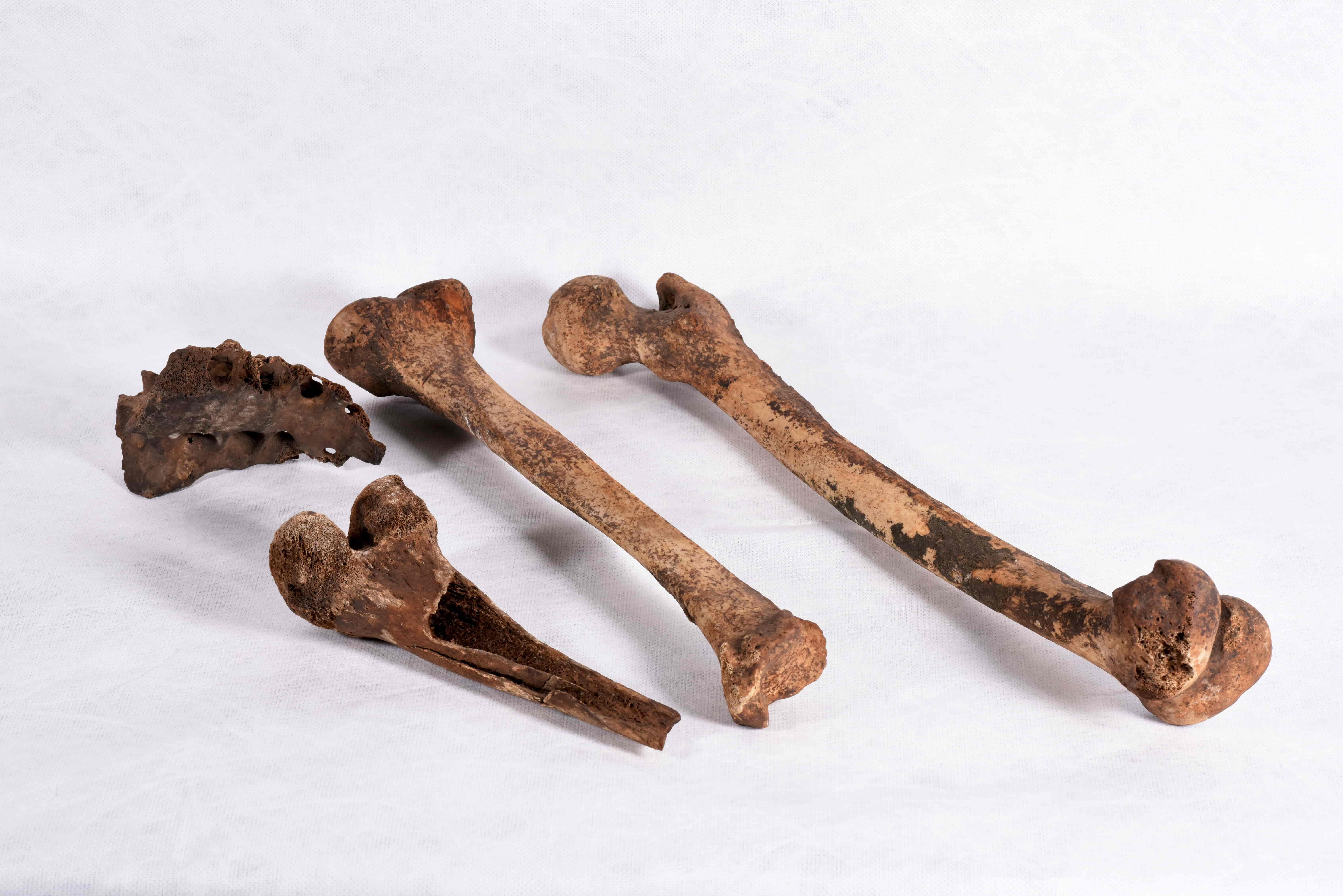 Two complete leg bones and two fragments of leg bones on a white background