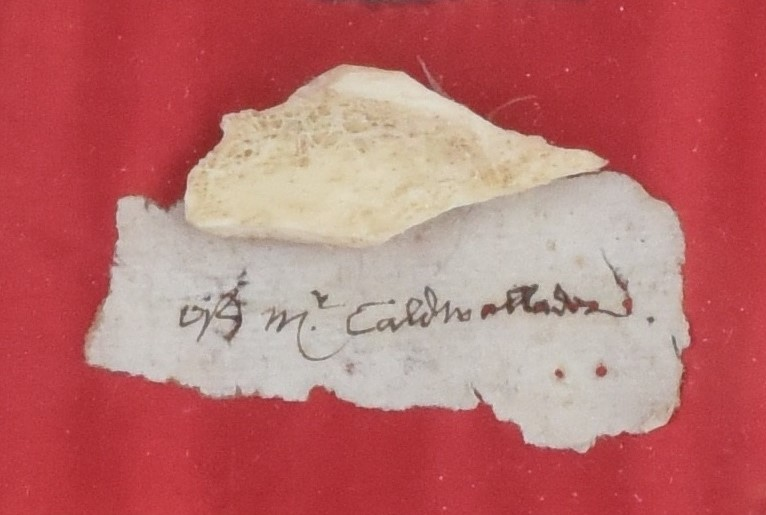Small piece of bone and a piece of paper that reads 'Mr Cadwallador' in handwriting. Both sit on red cloth