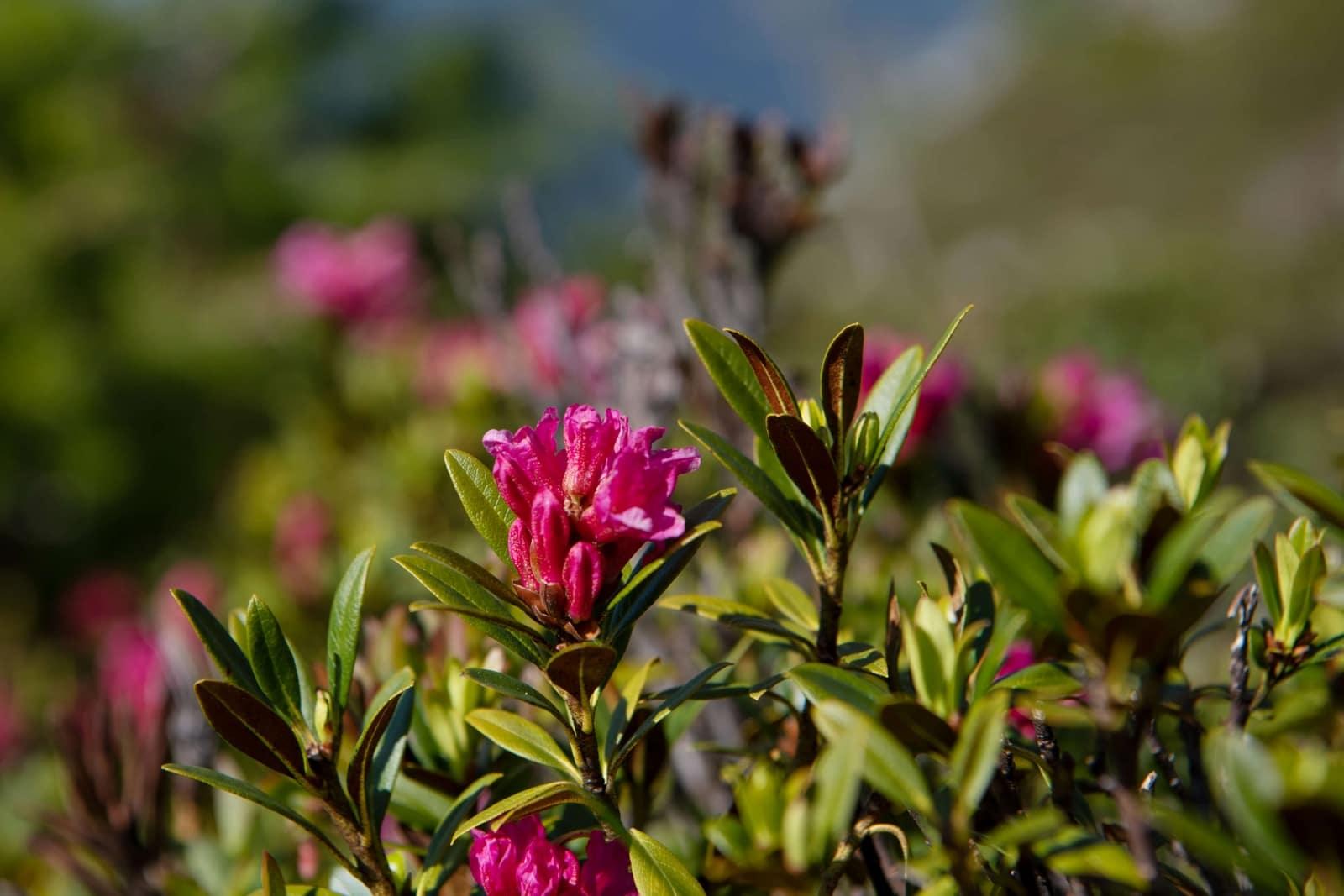 Bergblumen der 4 Täler