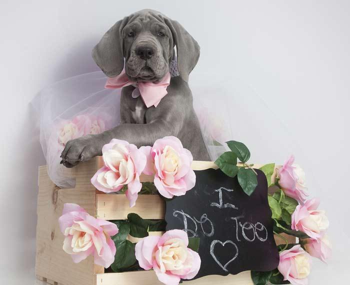 wedding-day-dog-chaperone service devon