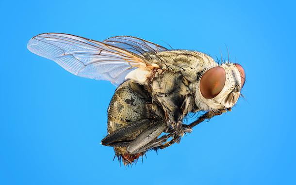 a fruit fly on a sky blue backdrop