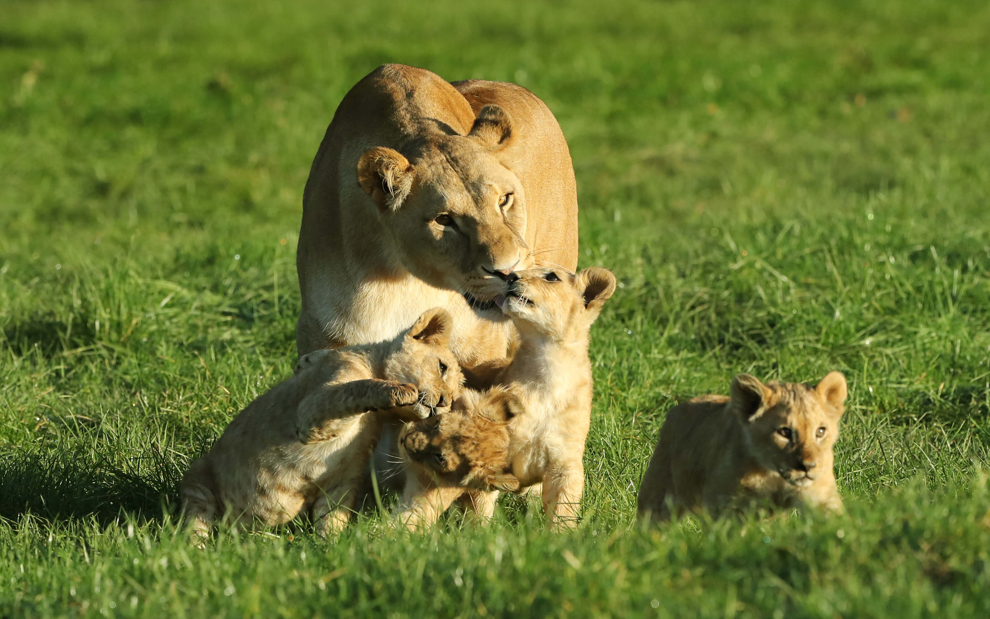 A lioness and three cubs playing.