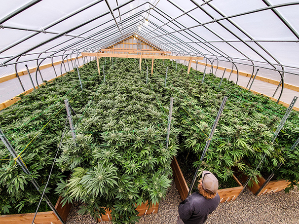 Team member overlooking cannabis canopy within greenhouse.