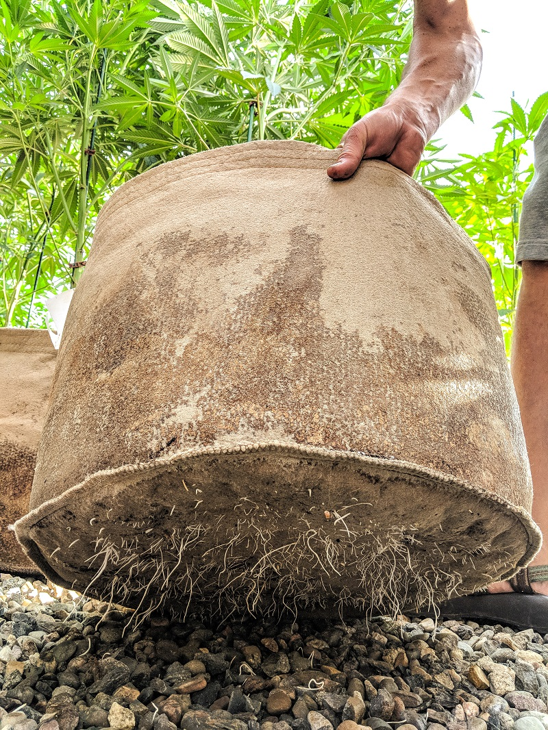 A team member holding up a canvas pot with roots bursting out the bottom.