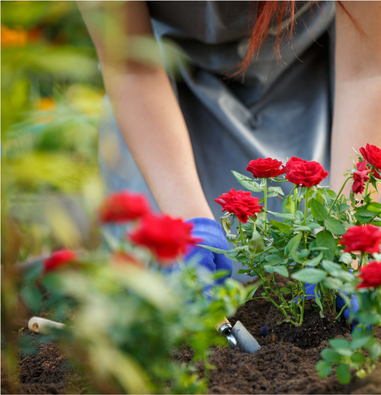Woman with red hair using a garden tool to place red carnations in her garden