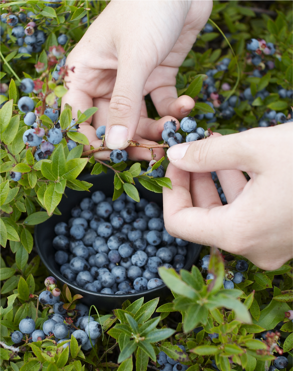 Up close view of two clean hands picking blueberries off a bush
