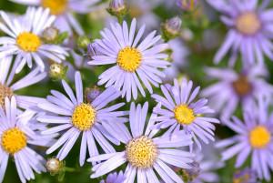 Aster_amellus_-_blooms_(aka)