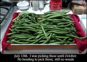 green_beans