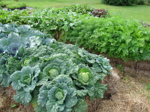 Cabbage planted in large area