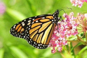 monarch-butterfly-957784_960_720