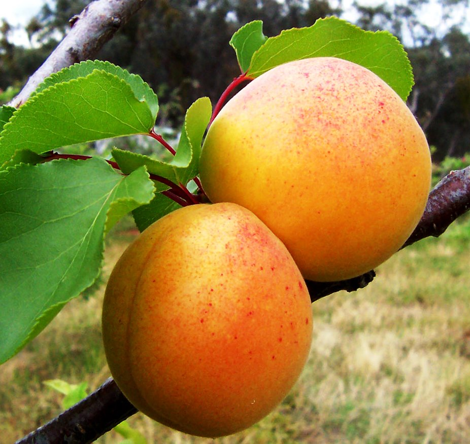 Healthy Eating From Your Backyard Orchard