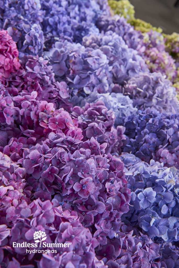 Make a bold impact in your yard with Endless Summer® hydrangeas
