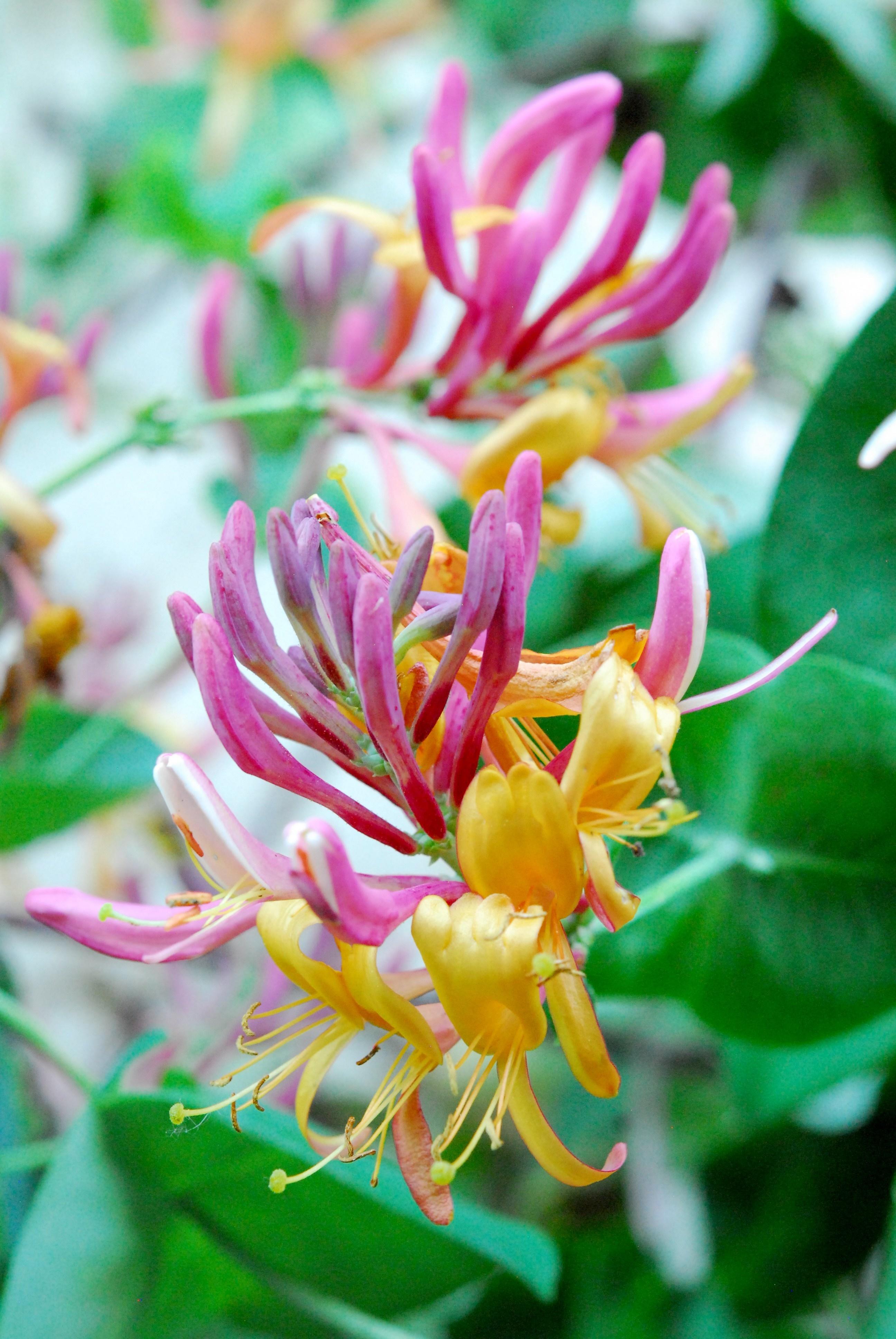 Perennial Flowering Vines