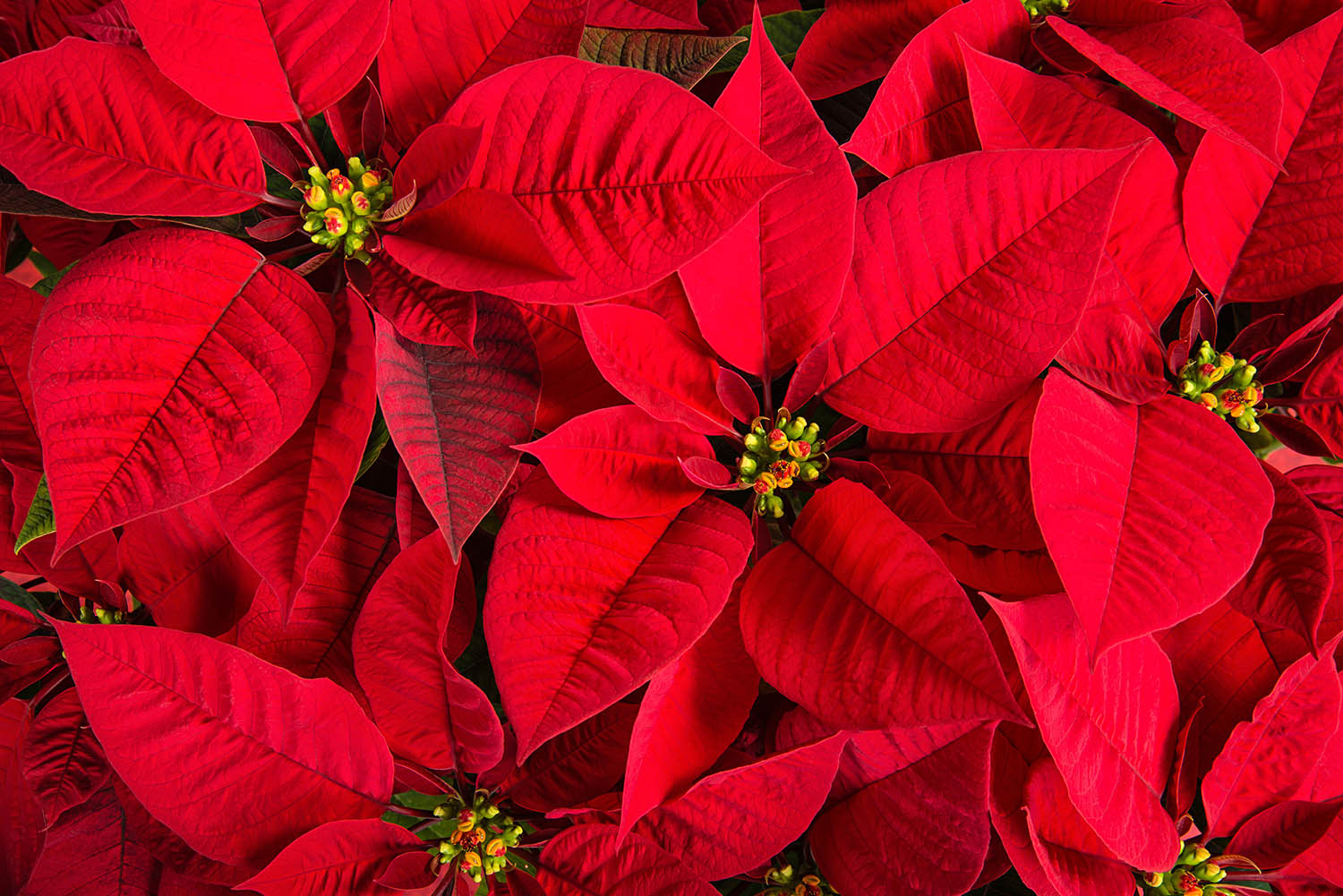 Poinsettia Plant Fun Facts & Care
