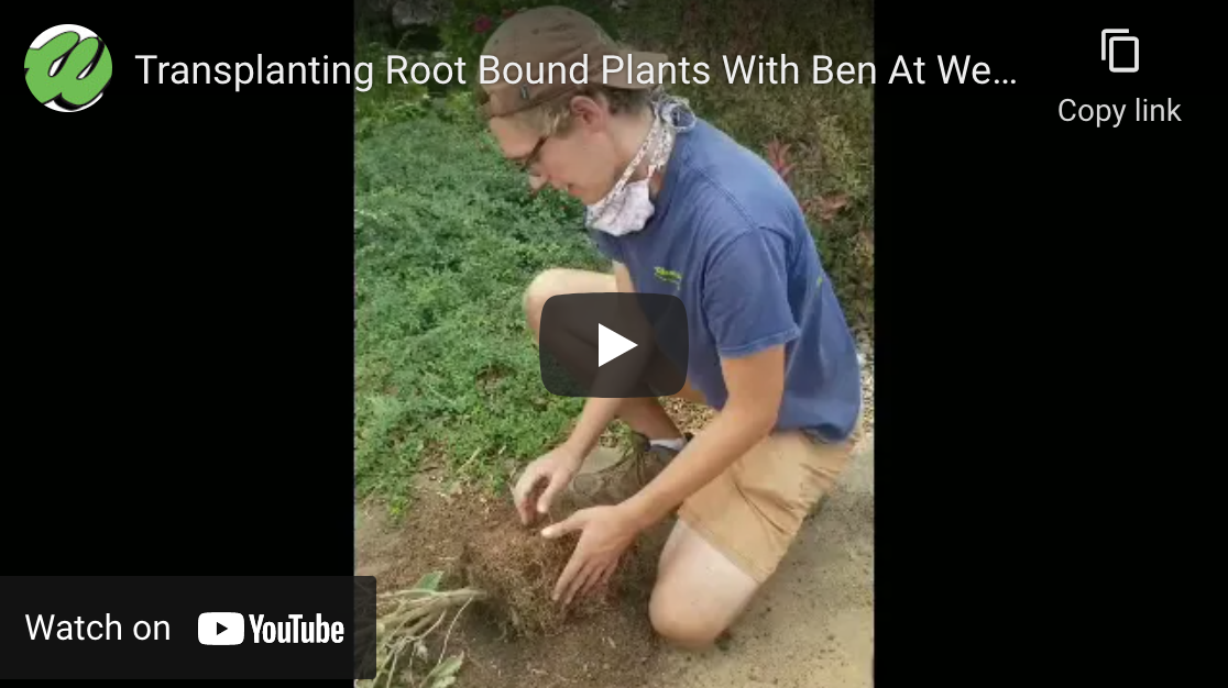 How To Transplant Root Bound Plants With Ben At Wedel's [Video]