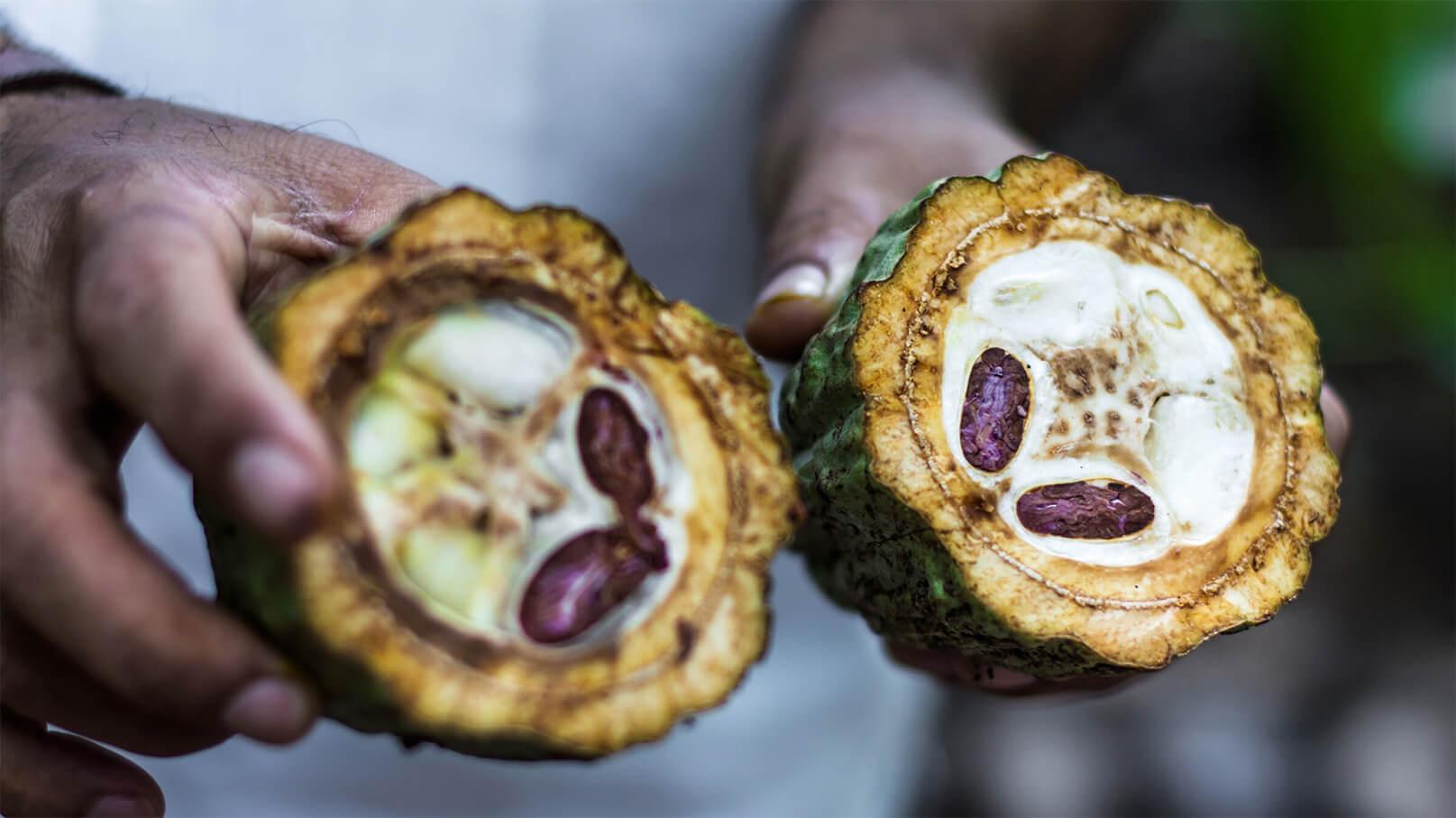 Cacao e propósito