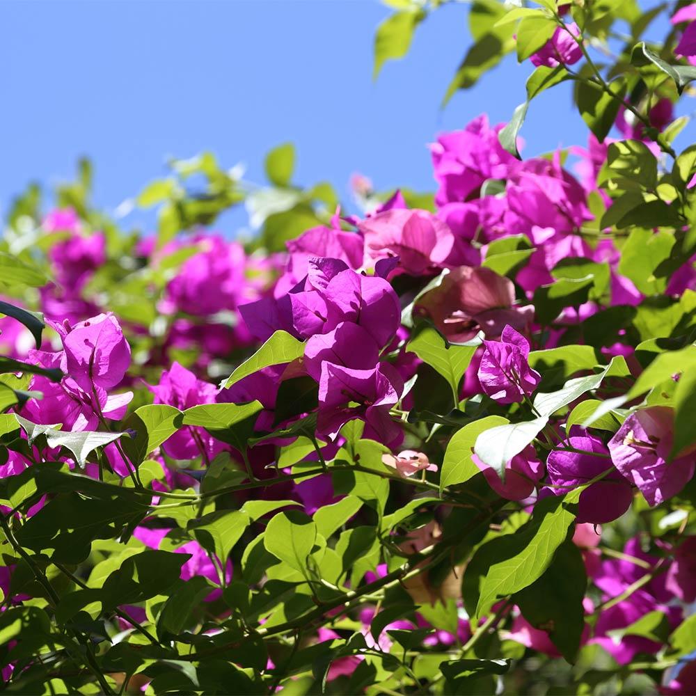 Bougainvillea spectabilis in Tucson, AZ