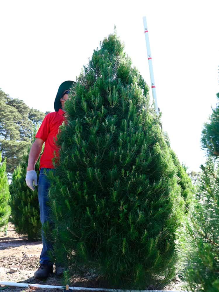 8-feet tree