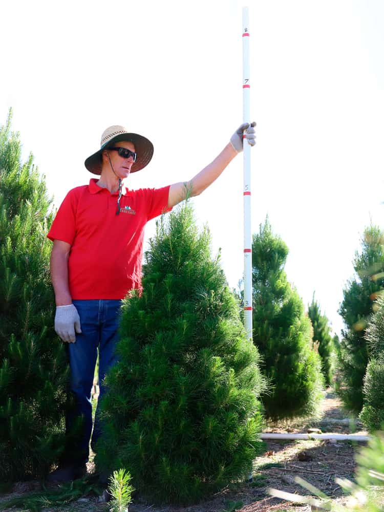 5-feet tree