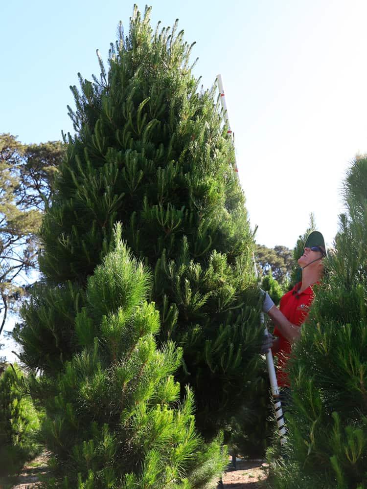 9-feet tree