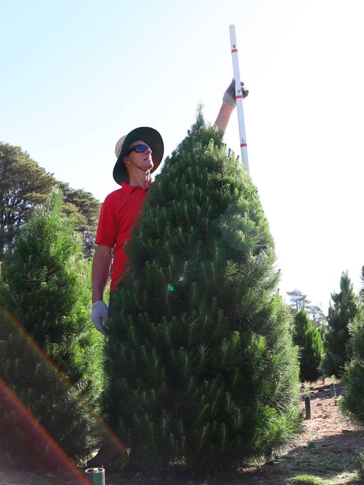 7-feet tree