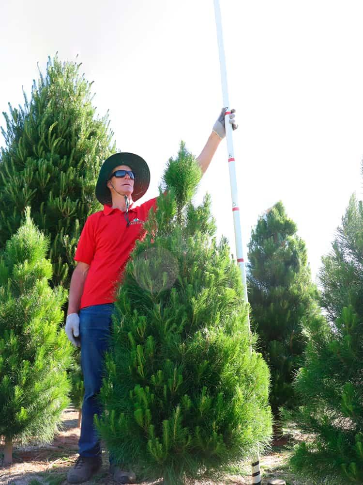 6-feet tree
