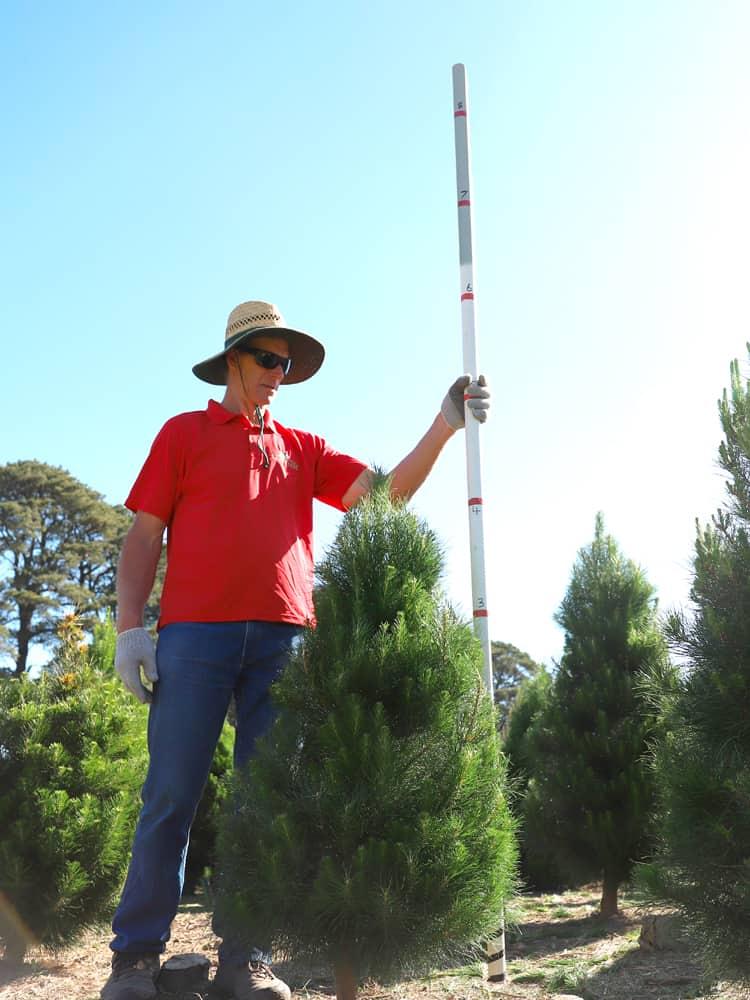 4-feet tree